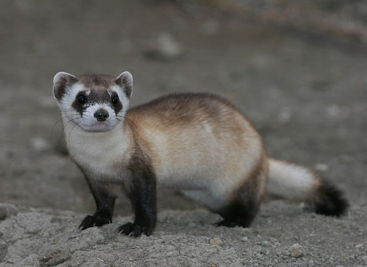 After Thousands Of Years Earth S Frozen Life Forms Are Waking Up Endangered Animals Ferret Black Footed Ferret