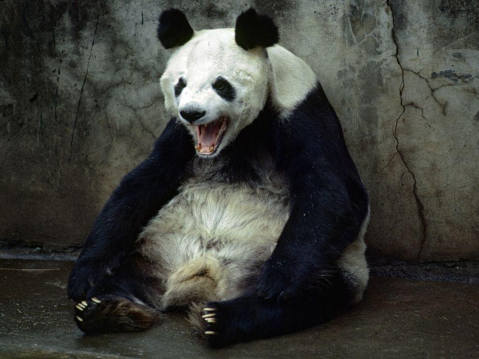 Panda Yawning, Kunming, China
