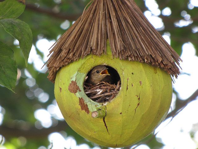coconut birdhouse Pinterest (Jeffery Martin, flickr)