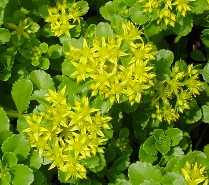 Rare among sedums as this variety features yellow flowers glossy rare among sedums as this variety features yellow flowers glossy green leaves form a dense mightylinksfo Images