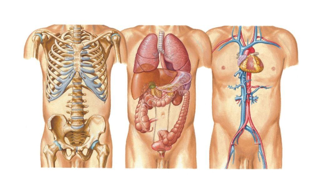 Httphuman Anatomy101wp Contentuploads201609anatomy Of