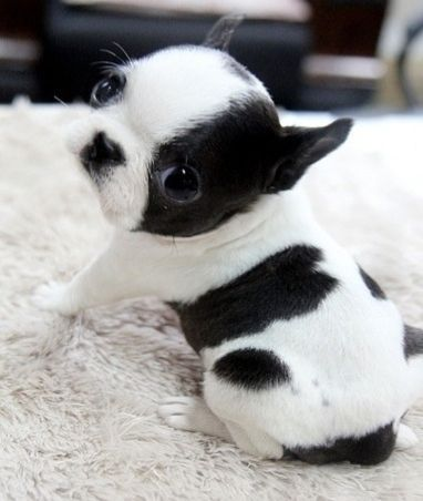 Boston Terrier Pup Stop My Beating Heart I Want This Puppy
