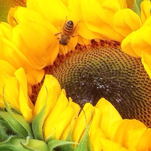 My new bee friend let me get close enough to take a pic of him doing his pollinating thing. #savethebees  #farmersmarket #bees #summer #insects #flowers #instafood #foodporn #eco #green #yellow