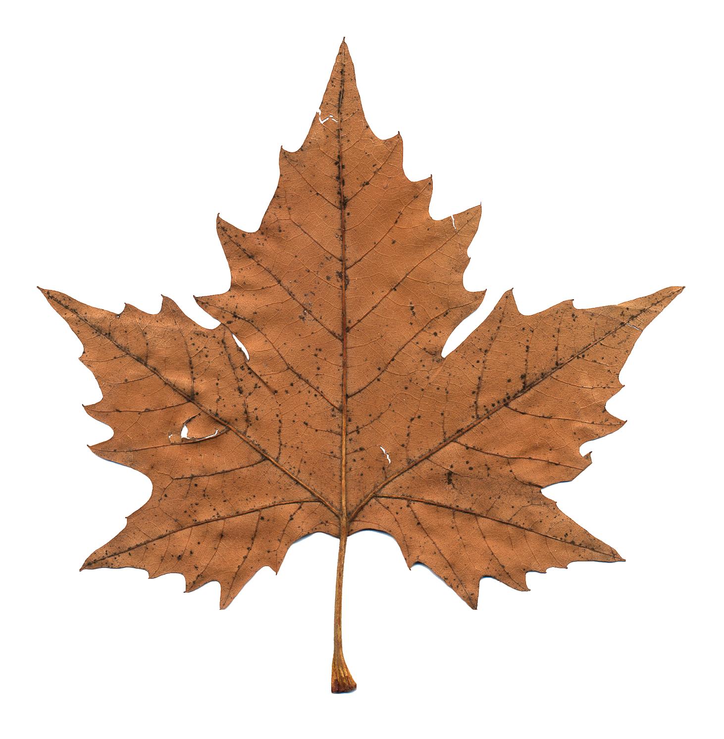 Maple Leaf Png Image Daun Bunga Kering Latar Belakang