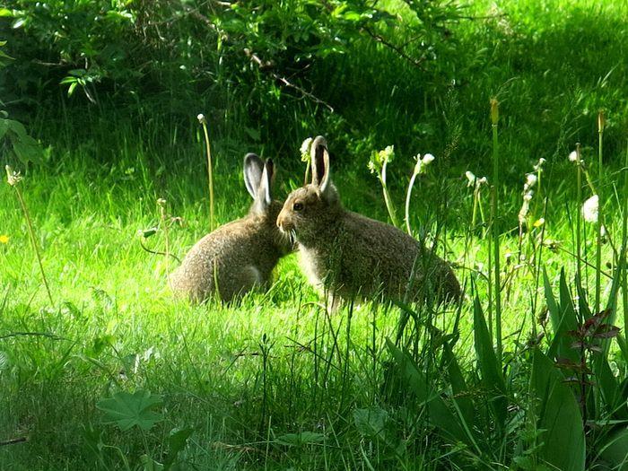 European hare puppies in the backyard. Pirjo Käpylä