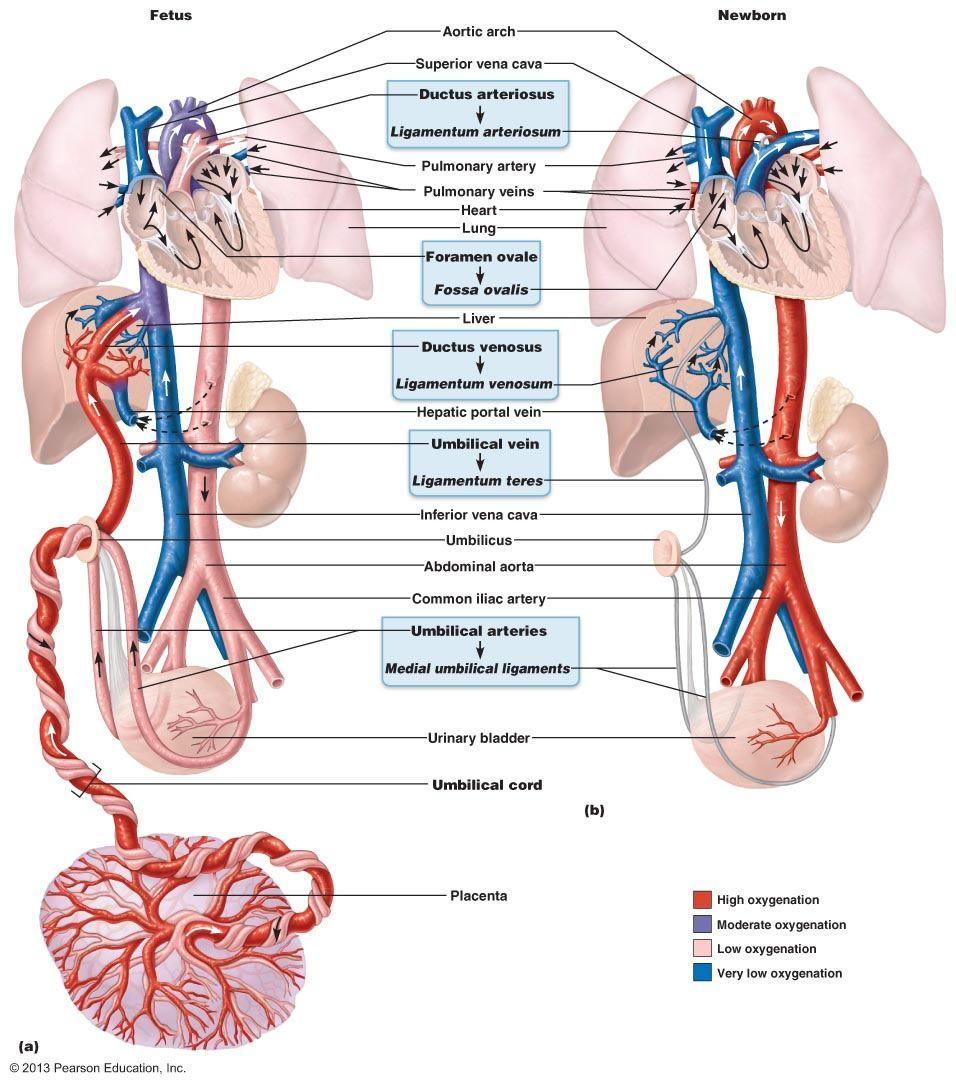 Found On Bing From Www Pinterest Com Pediatric Heart Basic Anatomy And Physiology Body Anatomy