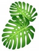 Leaves of tropical plant - Monstera. stock photography