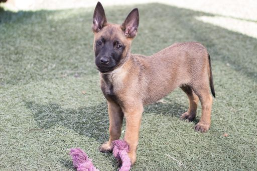 Litter of 8 Belgian Malinois puppies for sale in IMPERIAL