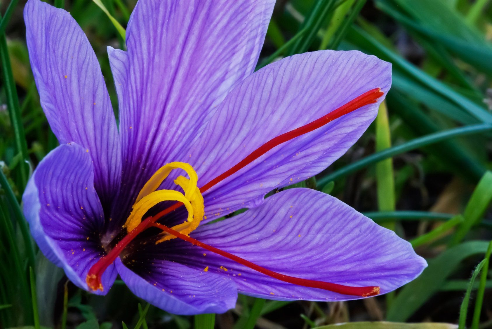 The Saffron Flower Saffron flower, Saffron crocus
