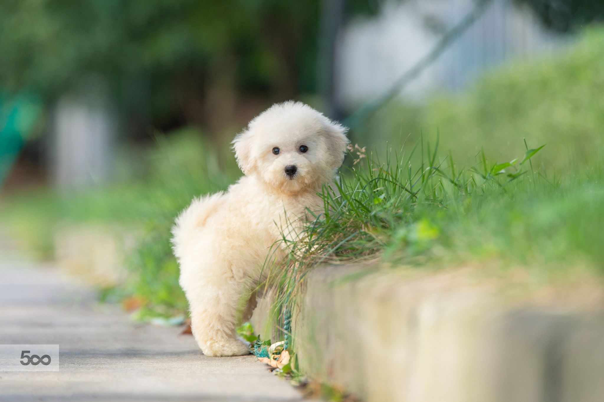 Photo happy bichon puppy by zhao hui on px dogs pinterest