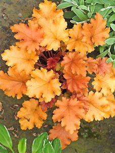 heuchera 39 orange peel 39 gardens plants pinterest pflanzen stauden und maler. Black Bedroom Furniture Sets. Home Design Ideas