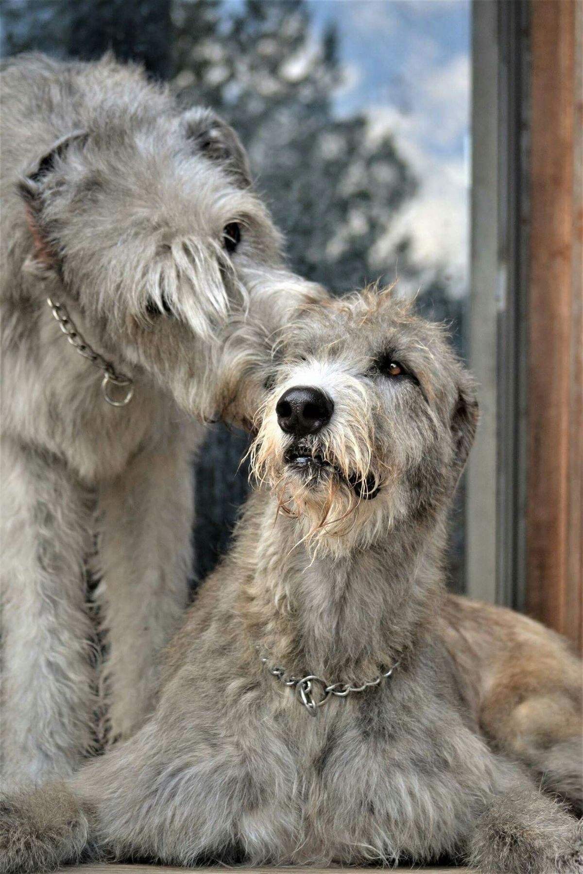 The irish wolfhound is the tallest of all dog breeds this massive the irish wolfhound is the tallest of all dog breeds this massive hound can reach a height of 7 feet when standing on its hind legs the irish wolf geenschuldenfo Image collections