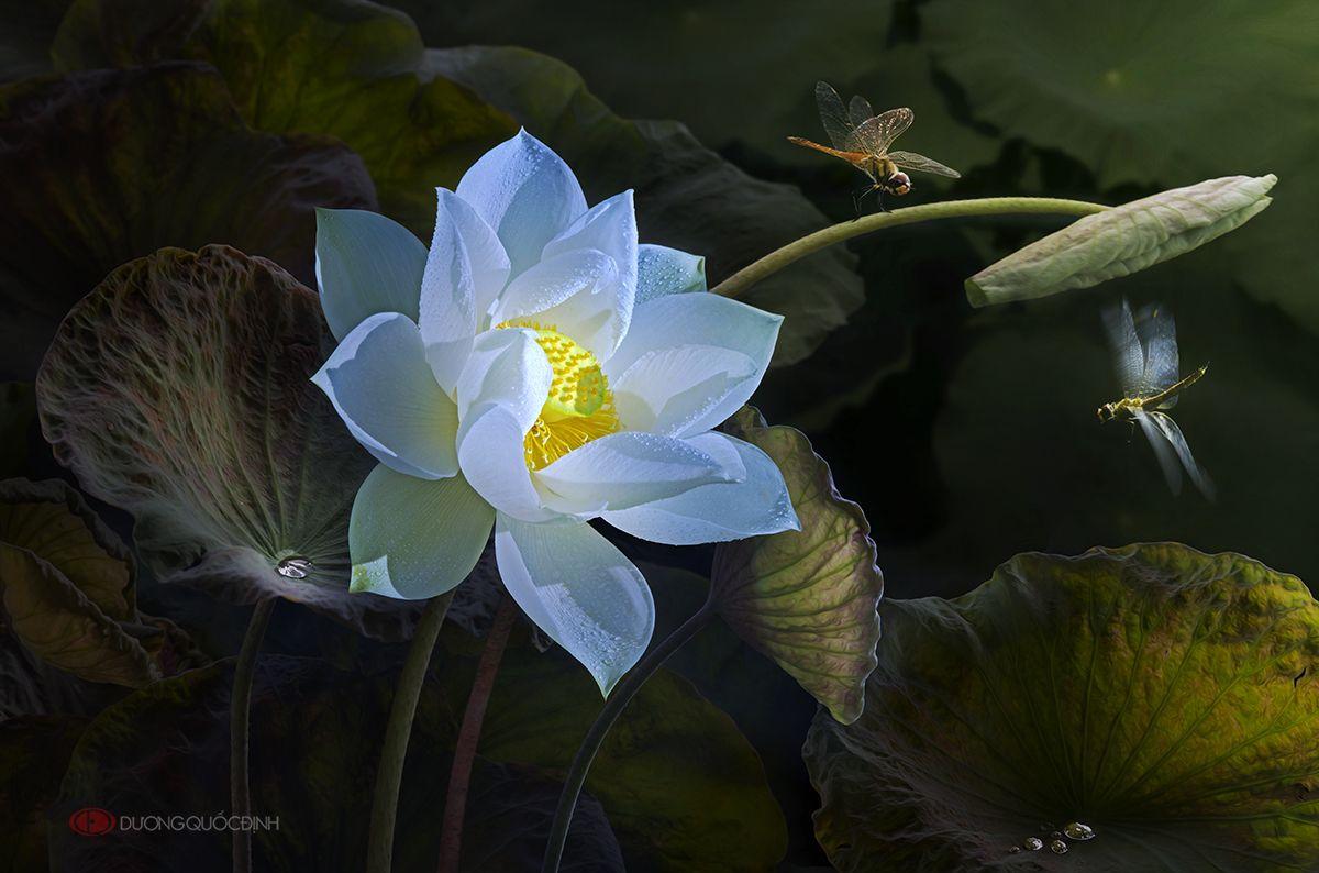 Lotus DQD
