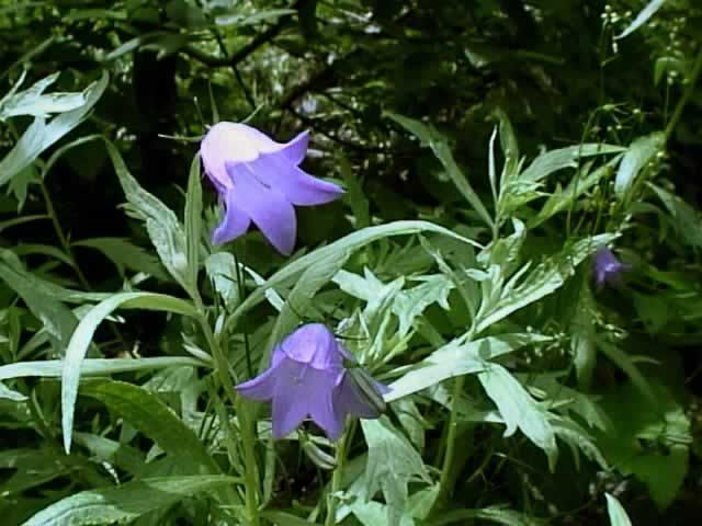 Bluebells of scotland campanula rotundifolia is a clump forming clump forming perennial that is hardy to usda zones from june through september produces multiple stems each with a single nodding bell shaped flower mightylinksfo Images