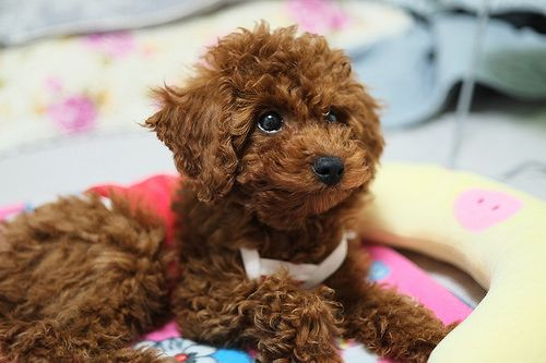 Pin By Jan Morgan On Poodles Dog Breeds That Dont Shed Wag The