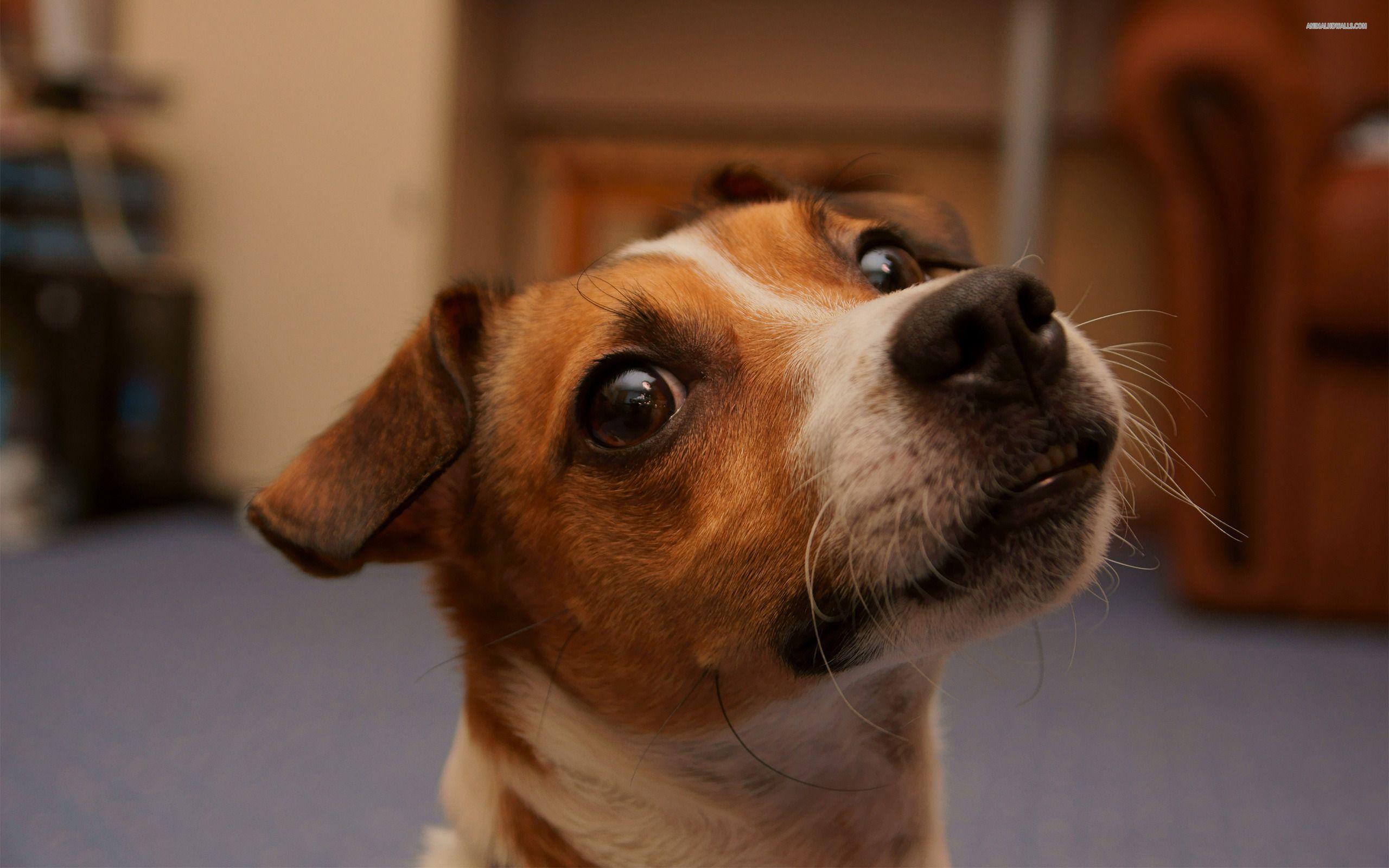 Jack Russel Wallpapers Free Wallpaper Download Jack Russell Jack Russell Terrier Jack Russell Dogs