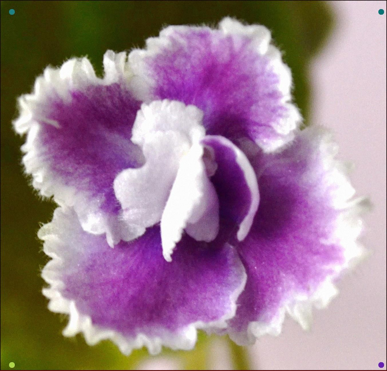 Party Lace SemiMiniature African Violet Flower (With