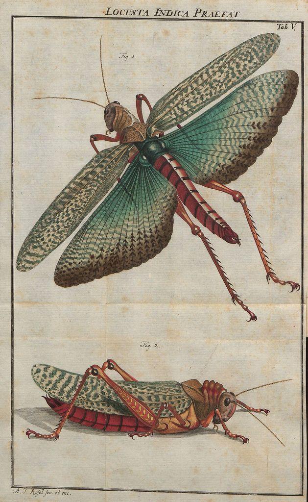 Locusta Indica Praefat, Rösel von Rosenhof