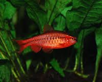 Red Cherry Barb Fish Tank Tropical Aquarium Fish Pet