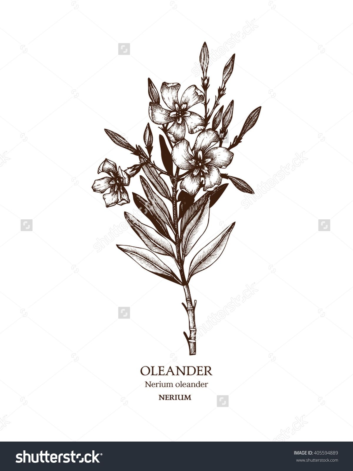Image Result For Oleander Flower Illustration White Oleander Book