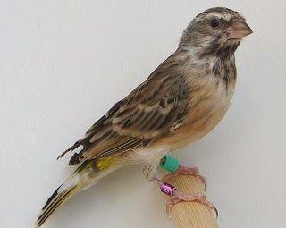 Burung Blackthroat Jantan Dan Betina Burung Cerewet Yang Berdasi Burung Hewan Peliharaan Hewan