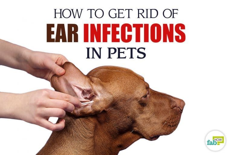 How To Treat Ear Infection In Pets In 2020 Dogs Ears Infection Dog Ear Infection Treatment Dog Ear Infection Remedy