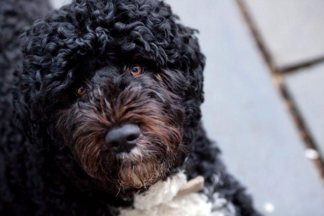 Puppy Eyes Portuguese Water Dog Bo Obama Water Dog
