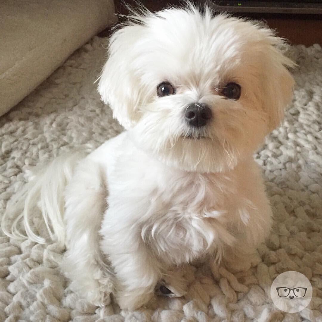 A Little Groggy But Awake Backtobednow Milomeetsworld Maltese Puppy Puppies