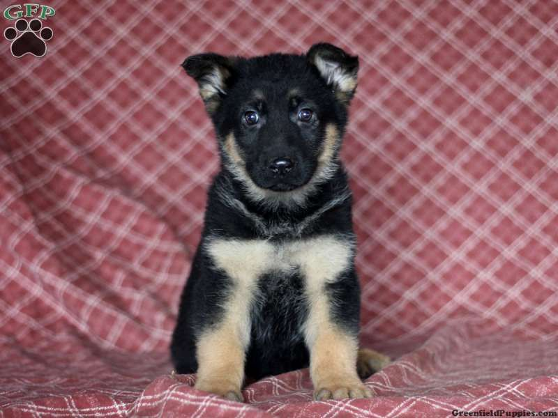 Kent German Shepherd Puppy For Sale In Christiana Pa German Shepherd Puppies Puppies For Sale Shepherd Puppies
