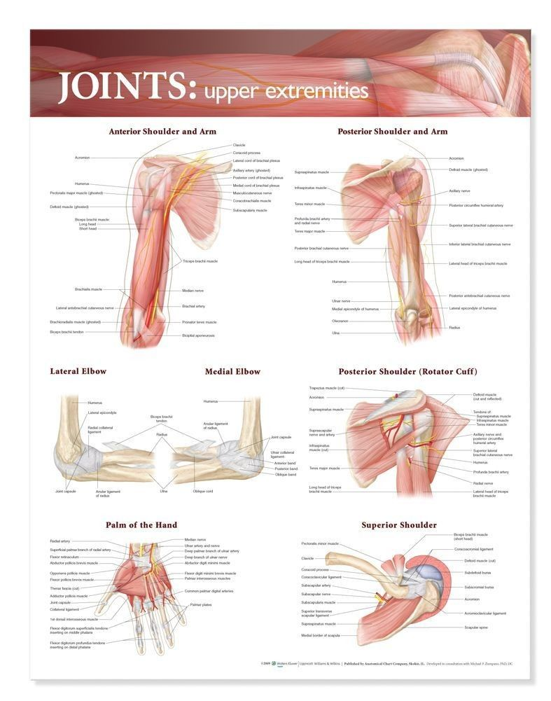 Joints Of The Upper Extremities Laminated Anatomical Chart Anatomy Muscle Anatomy Massage Therapy