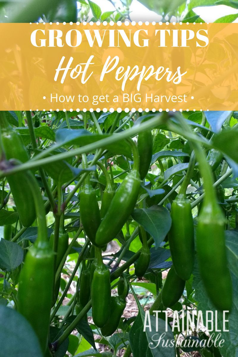 How To Grow Hot Peppers For Homegrown Fiery Flavor Stuffed