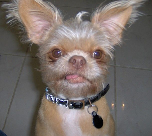 Shih Tzu Chihuahua Mix What My Mom S Chihuahua And My Shih Tzu S