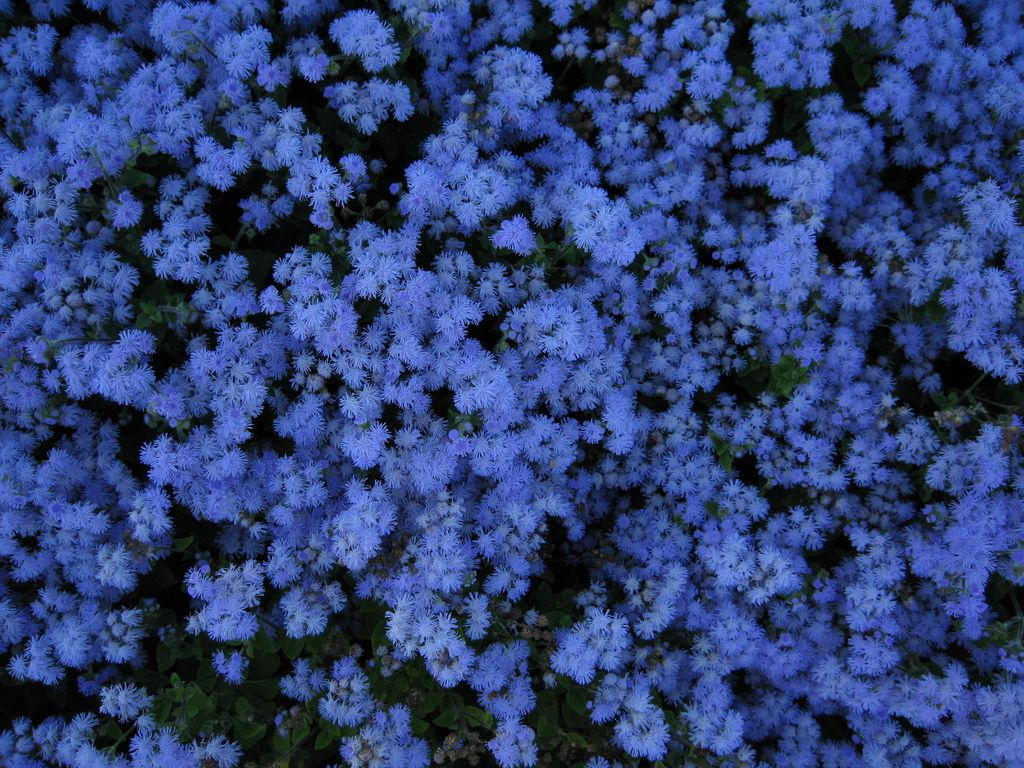 Ageratum Houstonianum Blue Mink Mosquito Repelling Plants Plants Blue Flowers