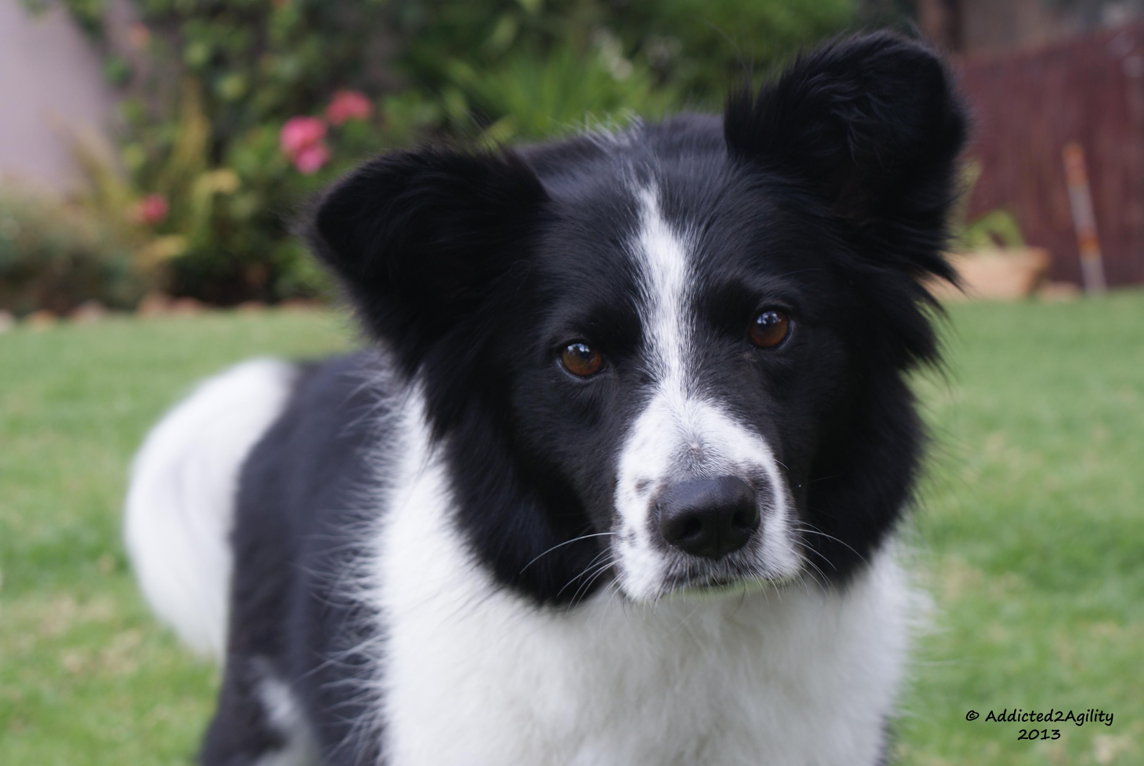 Chase Manhattan Aka Chase A 6 Year Old Rescue Border Collie
