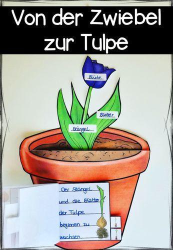 fr hbl her von der zwiebel zur tulpe unterrichtsmaterial im fach sachunterricht. Black Bedroom Furniture Sets. Home Design Ideas