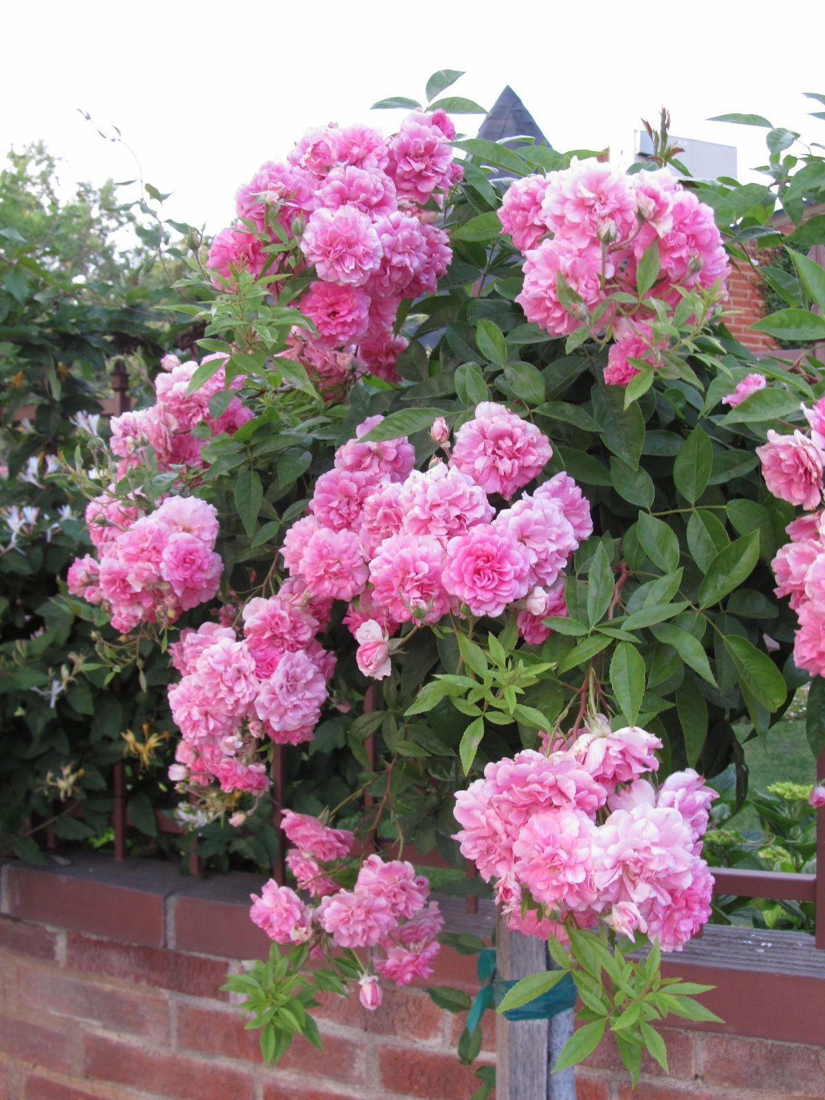 Einfache tipps zum zurückschneiden einer weinenden china doll tree rose china einer einfache tipps weinenden zuruckschneiden