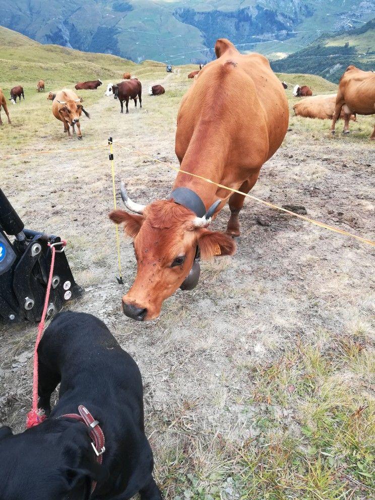 Qui c'est celui là ? Country scenes, Animals, Cow