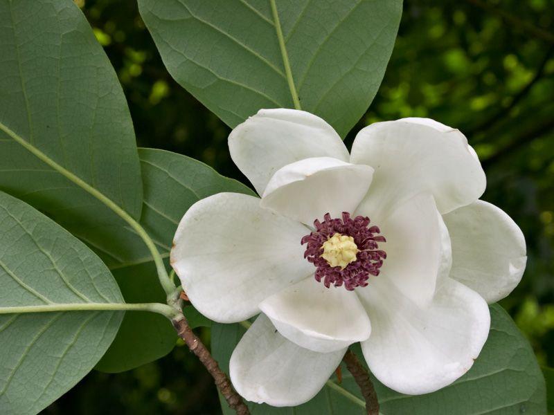 Magnolia Sieboldii Magnolia Trees For Sale Southern Magnolia