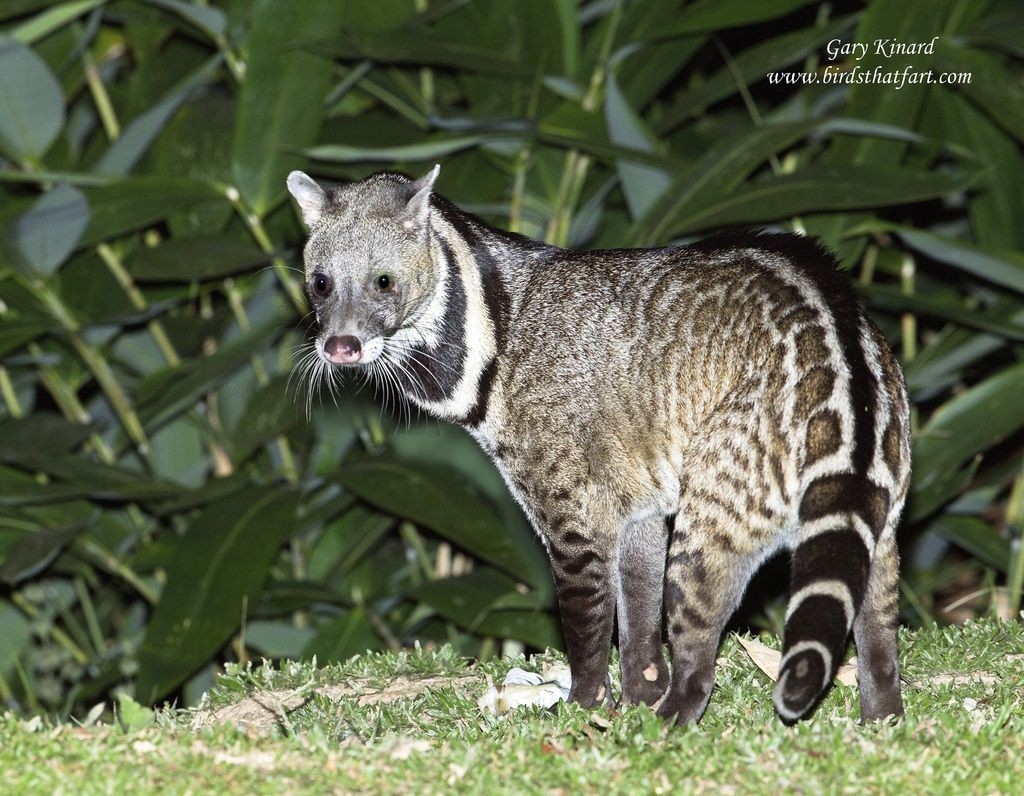 Large Indian Civet Viverra zibetha Animals wild