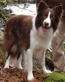 Chocolate Border Collie Red Border Collie Border Collie Lover Dogs