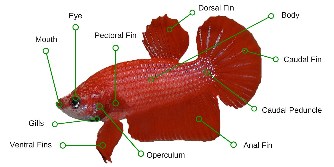 Betta Fish Anatomy Explained Bettafish Org Fish Anatomy Betta Breeding Betta Fish