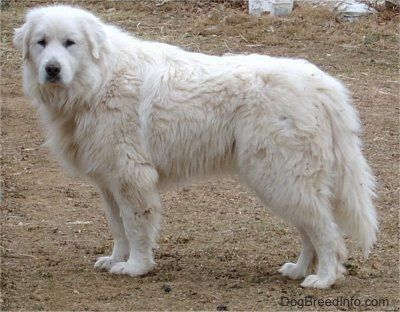 Great Pyrenees Dog For Adoption In Santa Clarita Ca Adn 715936