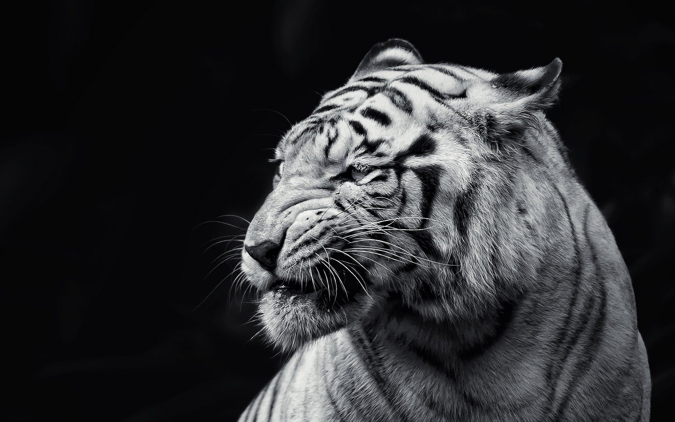 Animals Tigers Black Background 2560x1600 Wallpaper Tiger Wallpaper White Tiger Animals