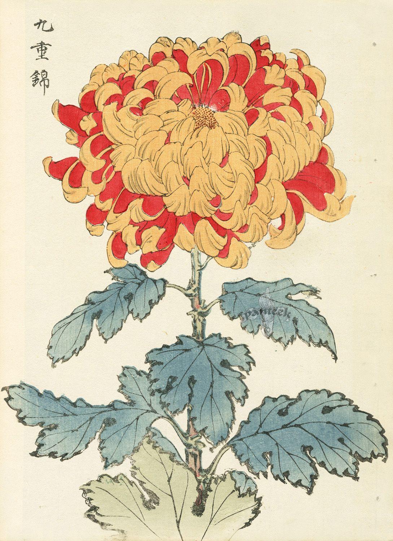 Keika Hasegawa Chrysanthemum Wood Block Prints 1893 ボタニカルイラストレーション 日本画 フラワーアート
