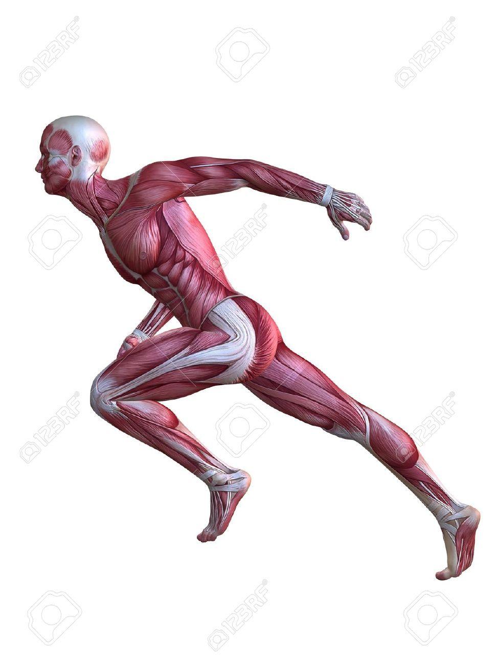Modelo 3D del músculo - macho | Anatomía Humana. Human anatomy ...