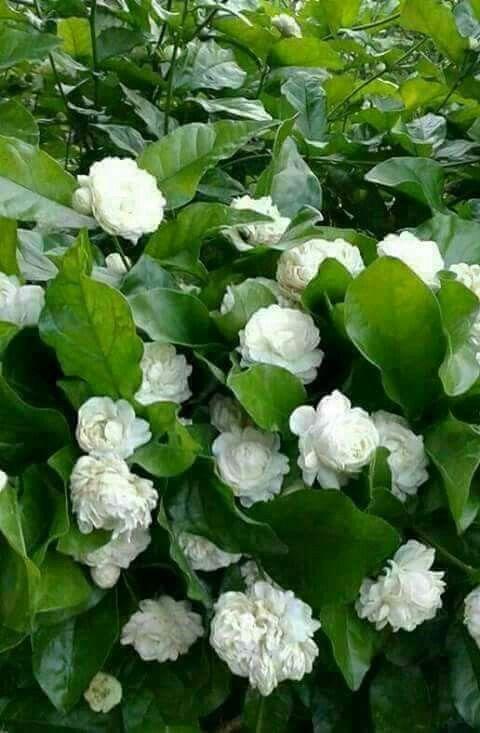 Pin By Chlakshman On Jasmine စ ပယ ပန လ မ Jasmine Flower Wonderful Flowers Jasmine Plant