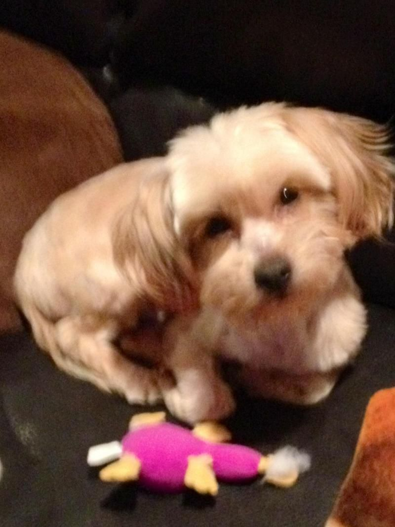 Adopt Harry on Lhasa apso, Rescue dogs, Yorkie
