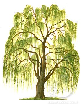 Image result for Willow tree clipart