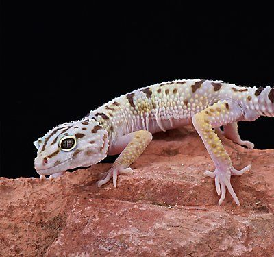 Leopard Gecko Care Sheet & Guide | PetSmart | Leopard gecko care