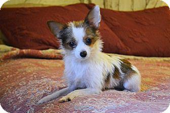 Hagerstown Md Chihuahua Pomeranian Mix Meet Penny A Puppy For